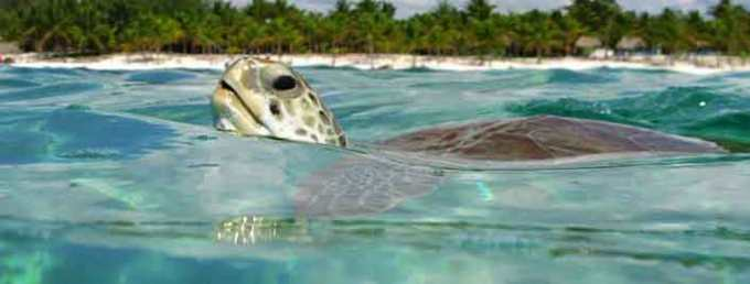 nado-con-tortugas-akumal