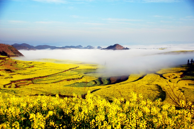 #(2)CHINA-YUNNAN-LUOPING-RAPE FLOWER-BLOSSOM (CN)