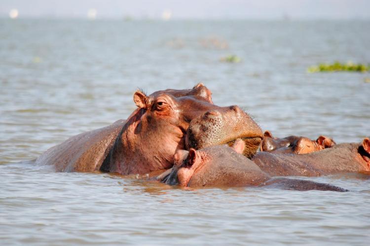 lago-naivasha-hipopotamo-1