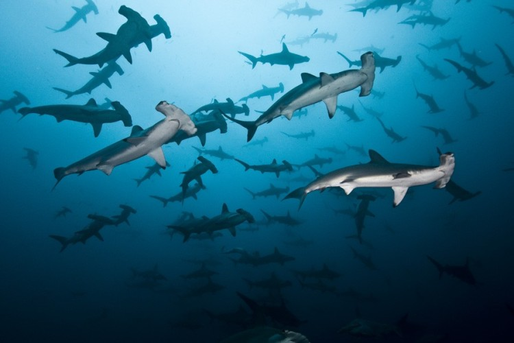 a-large-school-of-hammerhead-sharks-at-alcyone_-edwar-herrea-o